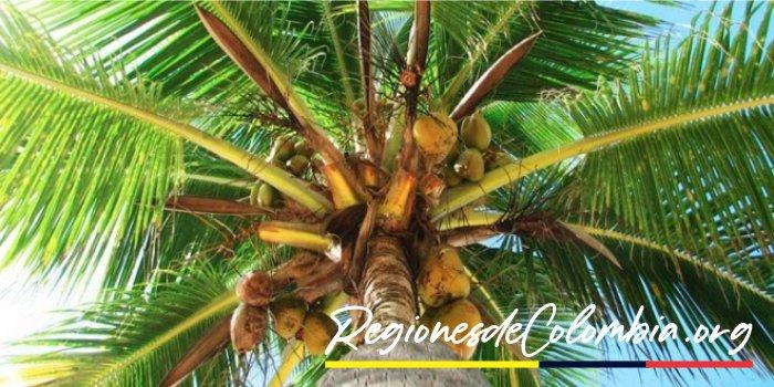 cocotero region caribe
