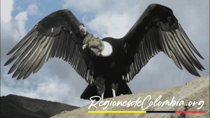 el condor de colombia