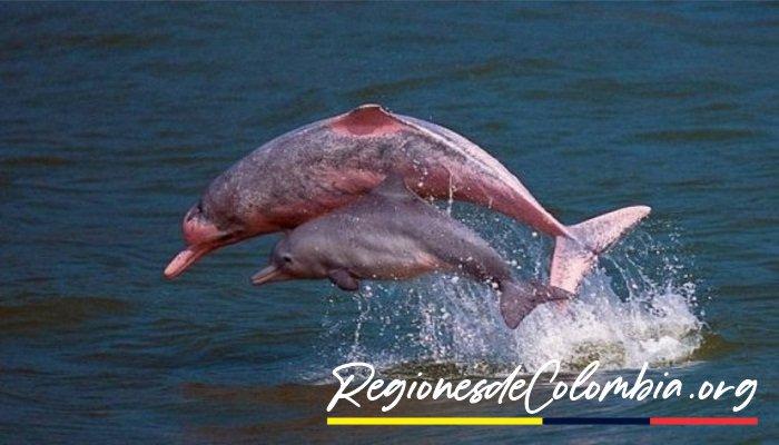 delfin rosado del amazonas