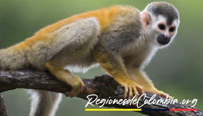 mono ardilla del amazonas