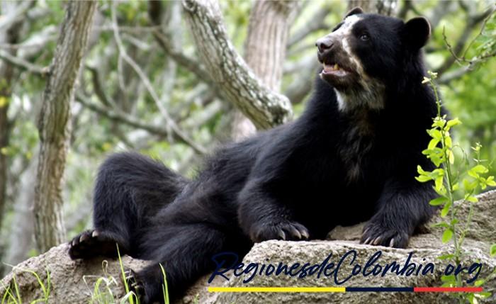 oso frontino de colombia