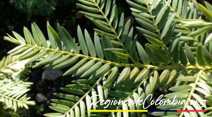 pino de pasto colombiano