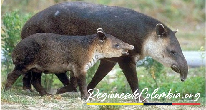tapir de colombia