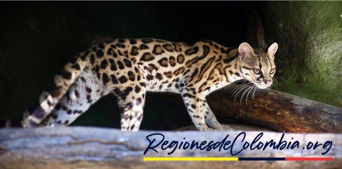tigrillo colombiano